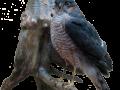 rovfugl