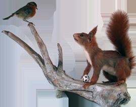Opstilling med egern og rødkælk